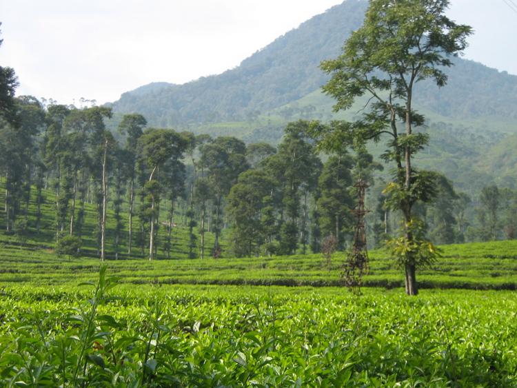Tempat wisata alam kebun teh Pagilaran