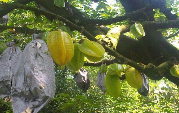 Agrowisata Blimbing Tulungagung